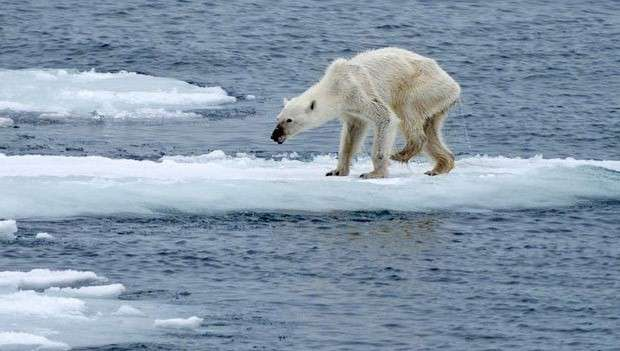 stark image of a sick-looking polar bear on a melting ice-cap.